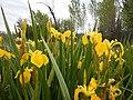Iris pseudacorus - paleyellow iris - Flickr - Matt Lavin (2).jpg