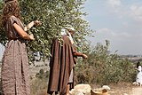 Israel Olive Picking (8157047076).jpg