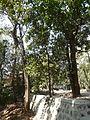 Ixora brachiata (2253158776).jpg