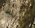 J20151112-0047—Platanus racemosa—RPBG (23024183742).jpg