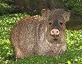 JAVELINA (Pecari tajacu) (3-23-14) patagonia-sonoita creek preserve, scc, az (13366148453).jpg