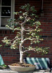 Jaboticaba bonsai, June 7, 2008.jpg