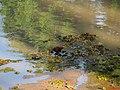 Jacanã (Jacana jacana) na região dos lagos em Bebedouro, formado com os represamentos do Córrego da Consulta. Também é conhecido por cafezinho ou menininho-do-banhado. Em certas re - panoramio.jpg