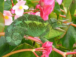 Jackson's chameleon - A Jackson's chameleon descended from a population introduced to Hawaii in the 1970s