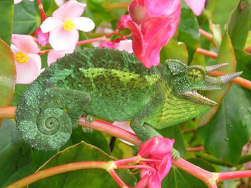 http://upload.wikimedia.org/wikipedia/commons/thumb/1/12/Jackson%27s_Chameleon_2_edit1.jpg/800px-Jackson%27s_Chameleon_2_edit1.jpg