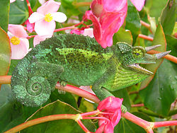 Jackson Chameleon is natural habitat