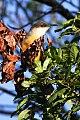 Jamaican Lizard-Cuckoo (Coccyzus vetula) (8082119705).jpg