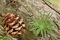 Japanese Larch Larix kaempferi Cone and Needles 3008px.jpg