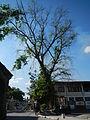 Jf9156Pterocarpus indicus Floridablanca Pampangafvf 10.JPG