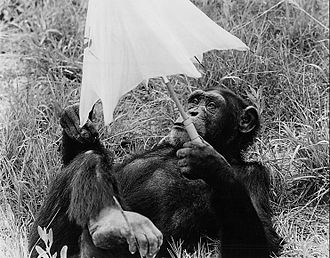 Ivan Tors - Judy the Chimp, who was a regular on Daktari, also had a role in Jambo.