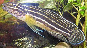Charles Tate Regan - Convict julie - a fish whose scientific name is Julidochromis regani (named after Charles Regan)