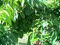 June Flower ^ Cherry Farming Endingen Kaiserstuhl - Master Seasons Rhine Valley Photography 2013 - panoramio (27).jpg