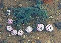 Junellia micrantha (8727598088).jpg