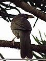 Jungle Babbler (Turdoides striata) (15892853292).jpg