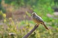 Jungle babbler - Indian Bird.jpg