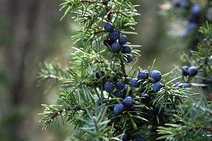 Juniperus (KK).jpg