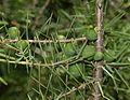 Juniperus cf. communis - Flickr - S. Rae.jpg