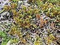 Juniperus communis (Mountain Juniper) - Flickr - brewbooks.jpg