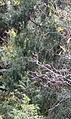 Juniperus flaccida Sierra Madre Oriental 1.jpg
