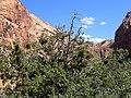 Juniperus osteosperma kz02.jpg