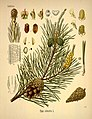 Köhler's Medizinal-Pflanzen in naturgetreuen Abbildungen mit kurz erläuterndem Texte (Plate 7) (6972231024).jpg