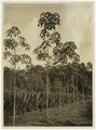 KITLV - 34526 - Kurkdjian, N.V. Photografisch Atelier O. - Soerabaja - Mixed plantings- agave with rubber trees (Hevea brasiliensis) - circa 1920.tif