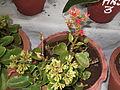 Kalanchoe blossfeldiana-yercaud-salem-India.JPG
