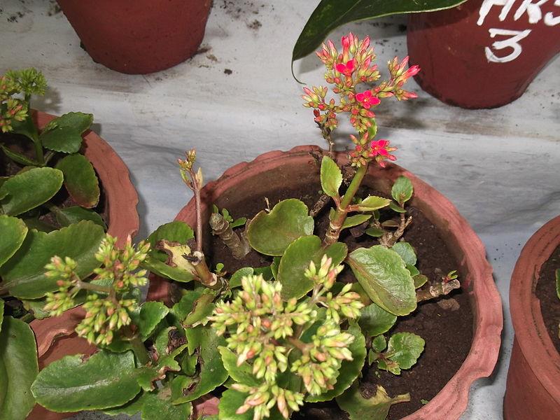 File:Kalanchoe blossfeldiana-yercaud-salem-India.JPG