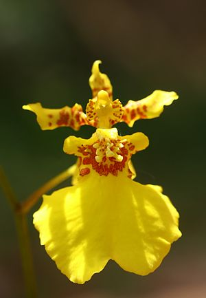 Kandyan dance - An orchid known as Kandyan Dancer due to its resemblance