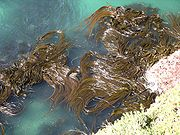 The top of a kelp forest in Otago, New Zealand