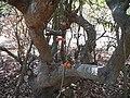 Kempu Chendu Hannina Balli (Kannada- ಕೆಮ್ಪು ಚೆಂಡು ಹಣ್ಣಿನ ಬಳ್ಳಿ) (8630667755).jpg