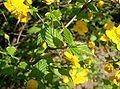 Kerria japonica2.jpg