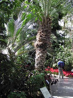 Kew.gardens.date.palm.london.arp.jpg