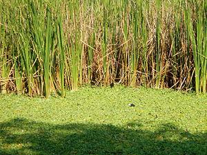 "Pistia - Rails (Rallidae, ""tikling""), feeding in Pistia stratiotes, Paombong, Bulacan)."
