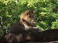 Kilimanjaro Safaris lion.JPG