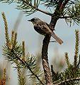 Kirtland's Warbler, Grayling, Michigan 4.jpg
