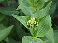 Knop van spoorbloem (Centranthus ruber) 01.JPG