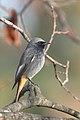 Kopciuszek (samiec) - Phoenicurus ochruros gibraltariensis.jpg