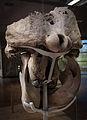 Kopfgelenk Waldelefant.JPG