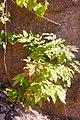 Korina 2017-04-30 Mahonia aquifolium.jpg