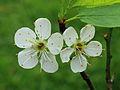Krentenboompje (Amelanchier). Bloemen 05.JPG