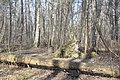 Krituši koki, Jūrmala, Latvia - panoramio.jpg