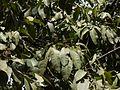 Kulappunna (Malayalam- കുളപ്പുന്ന) (3577751217).jpg