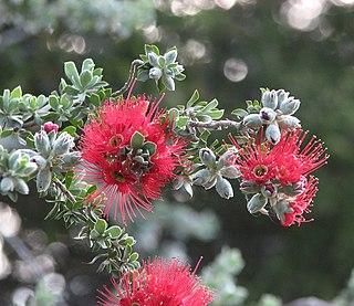 <i>Kunzea pulchella</i> species of plant