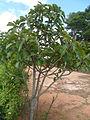 L'arbre Amontana.JPG