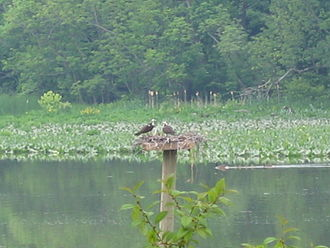 Little Hunting Creek - Ospreys and Canada geese on Little Hunting Creek