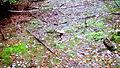 LSG 32 Harz und nördliches Harzvorland Wald beim Bremer Teich - Pilz Rotkappe.JPG