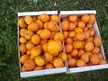 La collita -mandarines.jpg