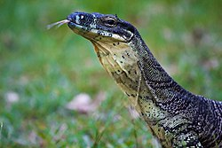 Lace Monitor in Tamborine National Park, Cedar Creek Falls, Queensland, Australia.jpg