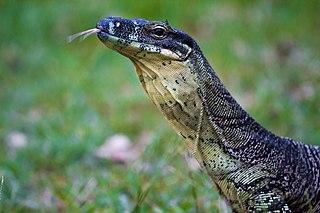 Monitor lizard Genus of reptiles